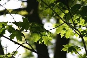 maple-tree-leaves-1390348